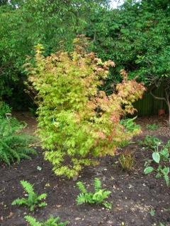 Acer Corallinum
