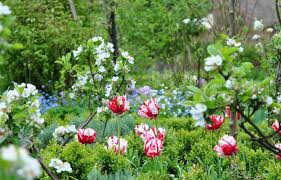 West Green tulips and blossom