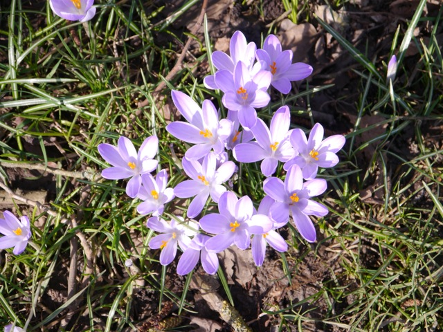 Clumps of Crocus cheer